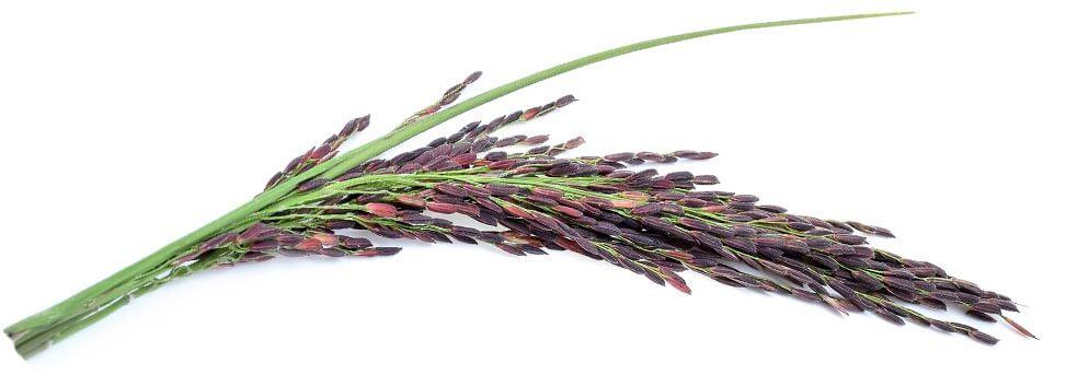 alfa PXP ROYALE - the purple royalty rice.